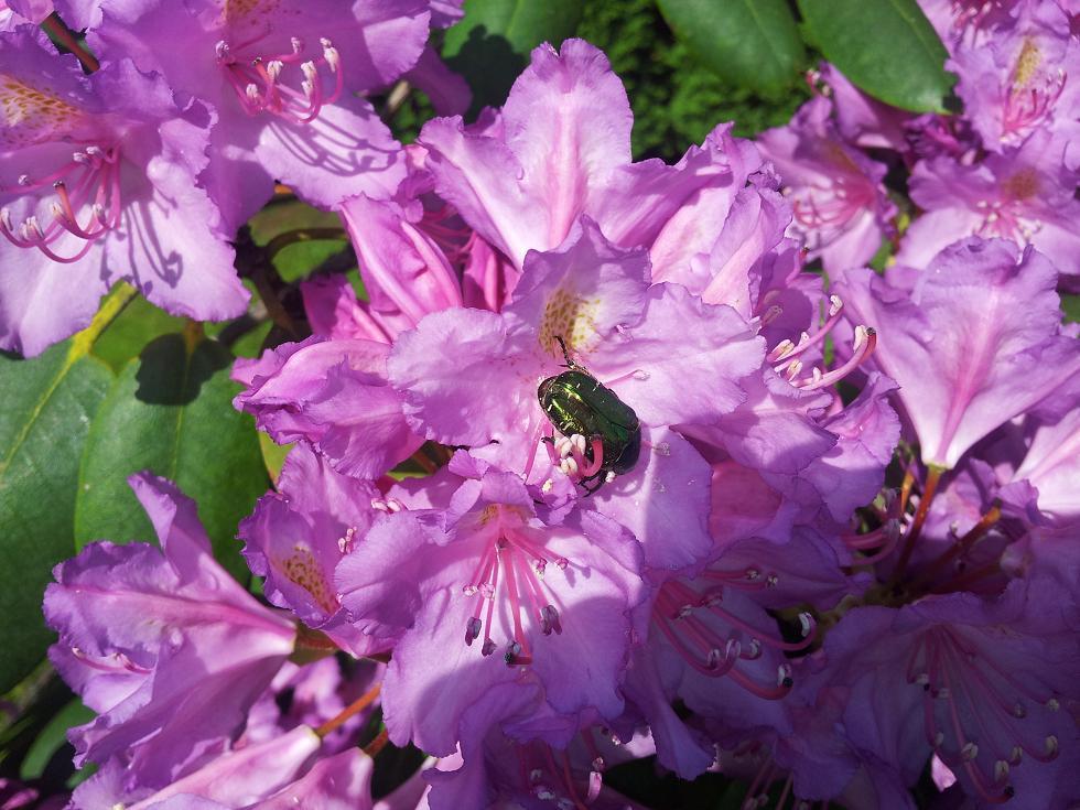 Diena bildēs - Page 3 Rododendrs